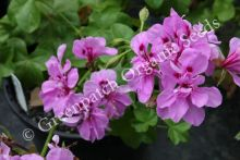 Geranium - Surprise 6 Pack Ivy's