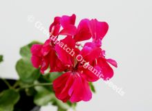 Geranium Ivy - Mexican Beauty