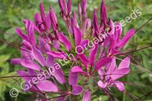 Cleome Mixed Colours