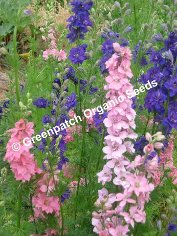 Larkspur - Mixed
