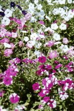 Petunia - Mixed Colours