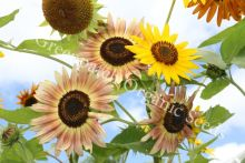 Sunflower - Evening Sun
