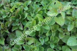 Oregano - Common