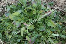 Watercress - Upland