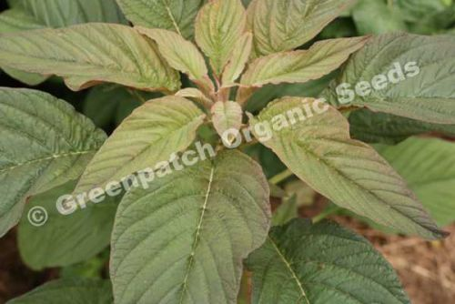 Amaranth Leaf