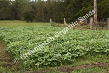 Green Manure Mix - Autumn/Winter
