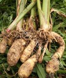 Arrowroot - West Indian Plant