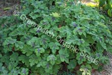 Geranium Scented - Peppermint Chocolate