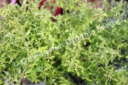 Mint - Pennyroyal Native 'Bush Mint' Plant