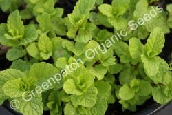 Mint - Common Plant