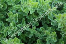 Oregano - Greek White