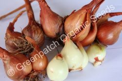 Potato Onion - Brown