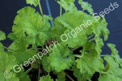 Geranium Scented - Apple