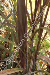 Sugar Cane - Purple Plant