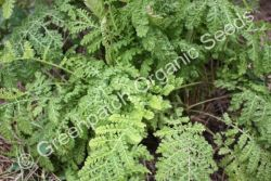 Tansy - Curled Plant