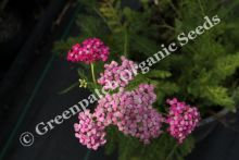 Yarrow - Cerise Queen Plant