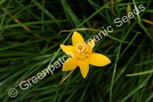Crocus - Yellow