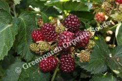 Blackberry Thornless