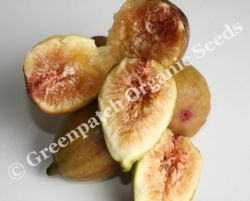 Fig Edible - Brown Turkey