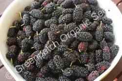 Mulberry Black