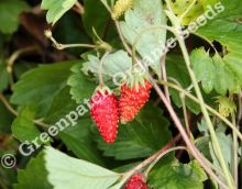 Strawberry - Alpine Alibaba