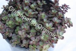 Sedum - Dragons Blood