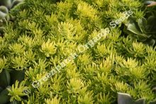 Sedum - Gold Mound