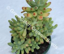 Sedum pachyphyllum 'Blue Jelly Bean'