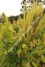 Amaranth Grain Golden