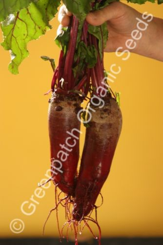Beetroot - Cylindra