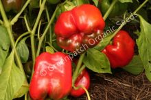 Capsicum - Californian Wonder