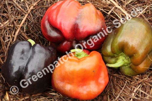 Capsicum - Purple Beauty