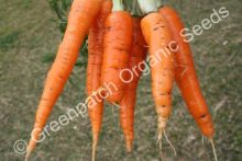 Carrot - Chantenay Red Cored