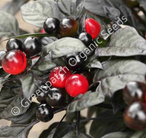 Chilli - Black Pearl Plant