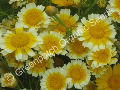 Chrysanthemum Edible