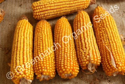Corn Maize - Early Leaming