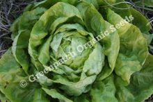 Lettuce - Buttercrunch