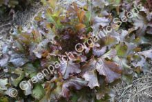 Lettuce - Red Oak Leaf
