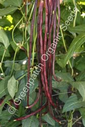 Bean Climbing -  Snake Red Noodle