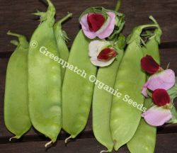 Pea Snowpea - Purple Flowered
