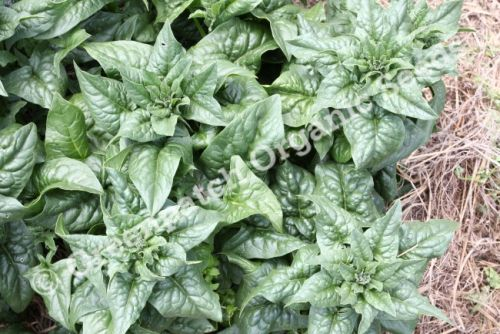 Spinach - English Bloomsdale