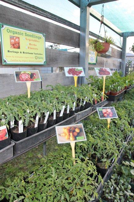 Organic Tomato Plants